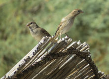 Two sparrows Royalty Free Stock Images