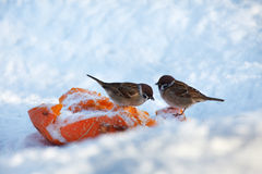 Two sparrows feeding in winter Royalty Free Stock Image