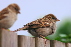 Two sparrows on a fence Stock Photography