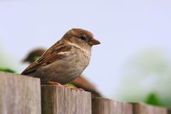 Two sparrows on a fence Royalty Free Stock Image
