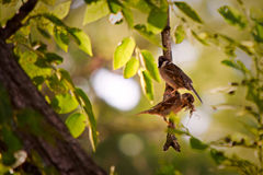 Two Sparrows. Gathering material for nest building Stock Image