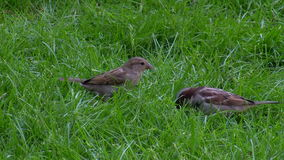 Two sparrows on the grass. Picking isolated stock video footage
