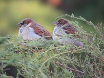 Two Sparrows Royalty Free Stock Photo