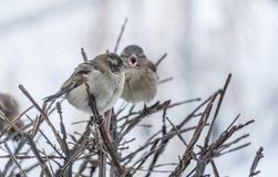 Two Sparrows Perched on a Bush Royalty Free Stock Photos