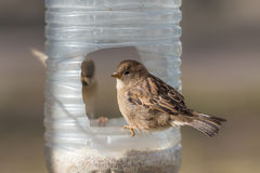 Two sparrows on a plastic trough Stock Images