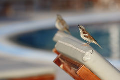 Two sparrows at the pool. Sparrow sits on the back of sunbed and tweets with one more sparrow beside blurred Stock Image