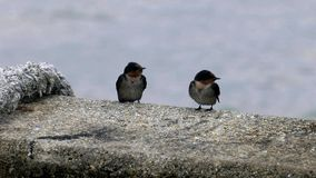 Two sparrows relax. Near sea Thailand stock footage