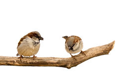 Two sparrows search for and eat sunflower seeds. White background royalty free stock image