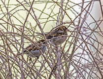 Two sparrows sitting amids thorny leafless twigs Royalty Free Stock Photos