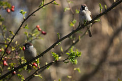 Two sparrows sitting on a branch listening and wai. These two birds are so calm and they dont care about nothing. They just sit there and listen to the nature Stock Photo