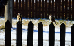 Two sparrows sitting on the fence. Two sparrows sitting on the fence and looking at each other stock image