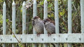 Two sparrows sitting on a metal fence. In autumn time stock video footage