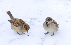 Two sparrows. Sitting on snow Royalty Free Stock Photos