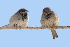 Two sparrows Stock Photos