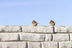 Two sparrows sitting on the wall Royalty Free Stock Photos