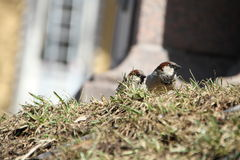 Two sparrows on spring grass Royalty Free Stock Images