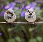 Two sparrows standing on a cable Royalty Free Stock Image