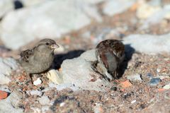Two sparrows on stones Stock Image