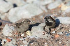 Two sparrows on a sunny day Stock Photos