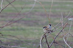 Two sparrows in a thorny bush on a background of a spring meadow.  Royalty Free Stock Photos