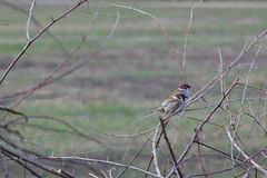 Two sparrows in a thorny bush on a background of a spring meadow.  Royalty Free Stock Image