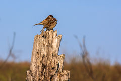 Two sparrows. On a tree stump against the sky Royalty Free Stock Photography