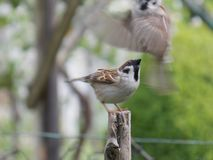 Two sparrows Royalty Free Stock Image