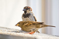 Two sparrows Stock Photos