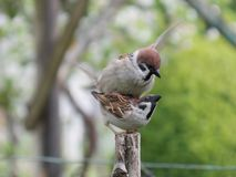 Two sparrows Stock Images