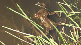Two spawning bufo bufo. Two spawning common toads in a pond on sunny spring day stock video footage