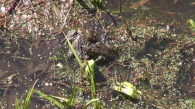 Two spawning toads in a pond. Two spawning common toads in shallow water in a pond on sunny early spring day stock footage