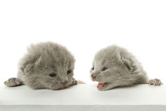 Two speaking kittens Stock Photos
