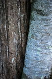 Two species coexisting. A birch and pine tree growing together in a forest Stock Images