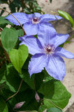 Two specimens of clematis viticella violet flowers Stock Photography