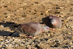 Two speckled pigeons. Two two speckled pigeons are pecking food in the ground in Capetown in South Africa. They are big doves with spotted feather. The area stock photography