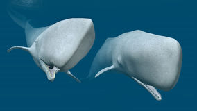 Two Sperm Whales Stock Photos
