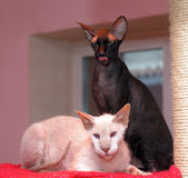 Two sphinx cat Royalty Free Stock Images