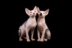 Two Sphynx cats stock images