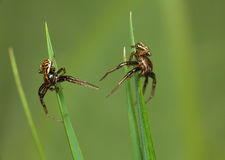Two spider meets in grass Royalty Free Stock Photo