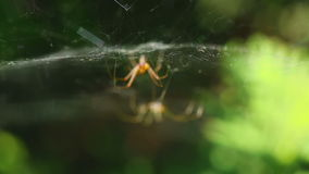 Two spider on the web. Two spider on a web hunt for flies stock footage