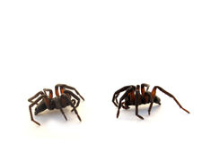 Two spiders. Spiders (order Araneae) are air-breathing chelicerate arthropods that have eight legs, and chelicerae modified into fangs that inject venom. They stock photos