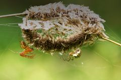 Two spiders Royalty Free Stock Photos