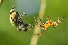 Flirtation of spiders. Two spiders araneus flirt with each other Stock Photos