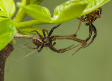 Two spiders battle Royalty Free Stock Images