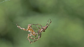 Two spiders fighting. Closeup of two spiders fighting with green nature background stock images