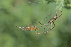 Two spiders fighting. Two spiders striking at each other for a fight of dominance Royalty Free Stock Images