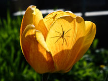Two spiders One tulip Stock Photos