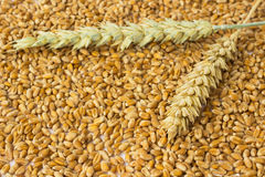 Two spikelets of wheat Royalty Free Stock Images