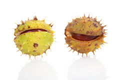 Two spiky  chestmut Royalty Free Stock Photography