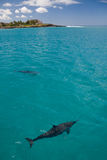 Two Spinner Dolphins. A pair of wild Spinner Dolphins observed on the West coast of Oahu Royalty Free Stock Images